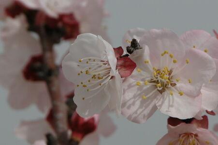 Prunus dulcis Arad valley Israel 06