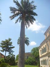Orto Botanico di Pisa palma dei cile b