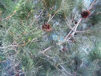 Pinus brutia parrticular 2