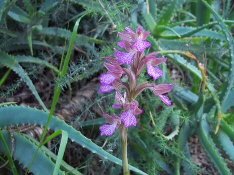 Orchis papilionacea
