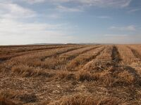 Wheat Harvest 1
