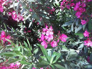 Nerium oleander kdumim b