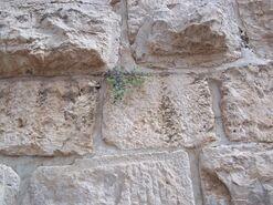 Capparis spinosa jerusalem 2