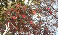 Eucalyptus leucoxylon panorama nechakim.jpg