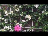 Wall of Madagascar jasmine (Stephanotis floribunda) - 🎶 Il Silenzio (Bonsoir Mon Amour) マダガスカルジャスミン