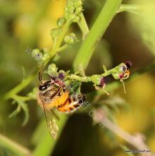 דבורה על לוענית עמק דותן