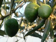 Olivefrute01