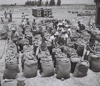 MEMBERS OF KIBBUTZ TIRAT ZVI BRINGING IN THE HARVEST. עונת הקטיף בקיבוץ טירת צבי בעמק בית שאן.D828-008 30 5 1943