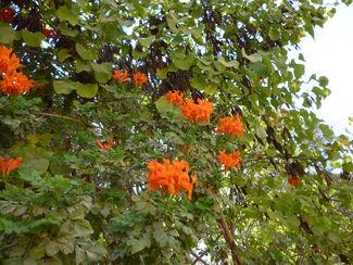 Tecoma Orange Jubilee2