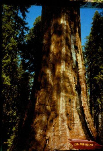 President Tree Sequoia