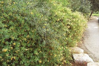 Loniceraa Mount Scopus Botanical Garden , Jerusalem4