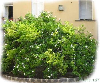 Gardenia thunbergia003