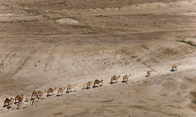 Camels in Jordan valley (4568207363) (1).jpg