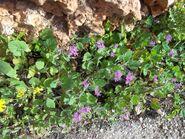 Geranium rotundifolium3