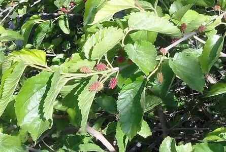 תות עץ