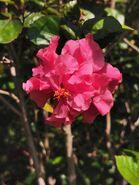 朱槿 Hibiscus rosa-sinensis 20201028130147 02