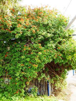 Tecoma Orange JubileeAAA