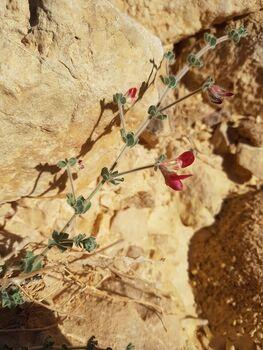 פרח נאה 66