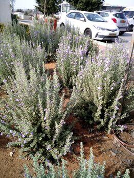 Leucophyllum rhashi kdumim 04