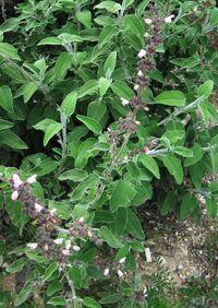 Salvia fruticosa d