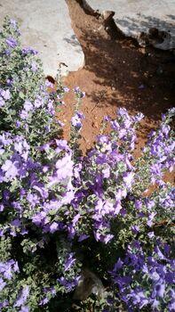 Leucophyllum rhashi kdumim 01
