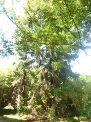 Cinnamomum camphora orto botanico di Pisa 2