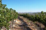 Fatgiyah vineyard3