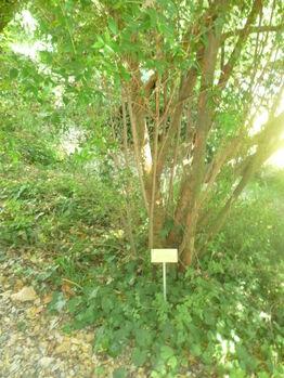 Myrtus communis01