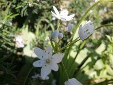 נץ-חלב אזמלני Ornithogalum lanceolatum Labill kdumim 01