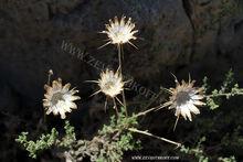 צמח מדבר יהודה 4444
