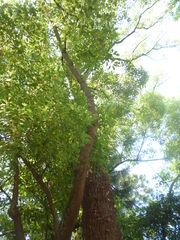 Cinnamomum camphora orto botanico di Pisa 1