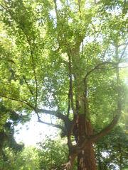 Cinnamomum camphora orto botanico di Pisa 3