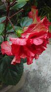 Closeup of multi color Hibiscus at Sakherbazar, Kolkata
