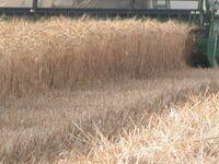Wheat Harvest 2