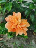 朱槿 Hibiscus rosa-sinensis 20201012185058 01