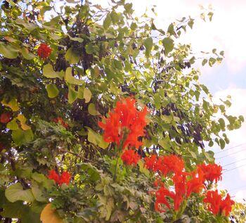 Centranthus ruber2