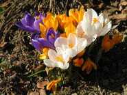 Frühlingsblumen Krokus