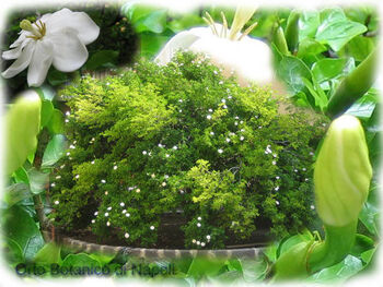 Gardenia thunbergia002