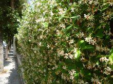 Trachelospermum jasminoides from Puglia 01