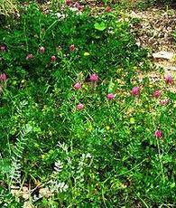 Trifolium purpureum1