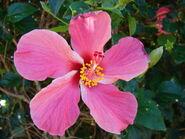 Starr 061223-2694 Hibiscus rosa-sinensis