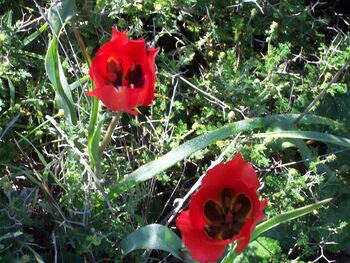 Tulipa agenensis kdumim2