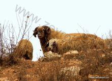 כבשים במדבר