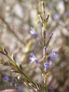 Lavandula coronopifolia 1