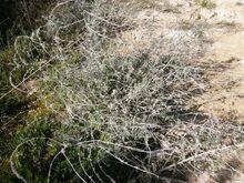 Echium angustifolium kdumim december 2014 a