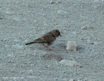 עפרוני המדבר המכתש הקטן
