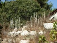 Urginea maritima HILL OF ANTIQUITIESA