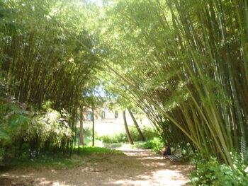 Orto botanico di pisa Bambusae 03