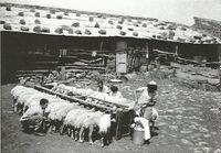 חליבה וסינון החלב בתנאי שדה