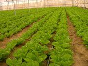 Lactuca sativa gush katif 2005 B